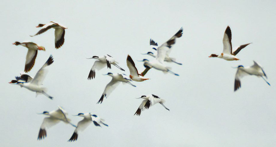 Shelducks and Avocets