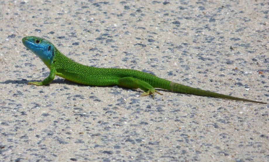 Weston Green Lizard