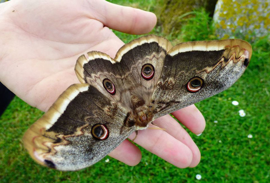 Great Peacock Moth