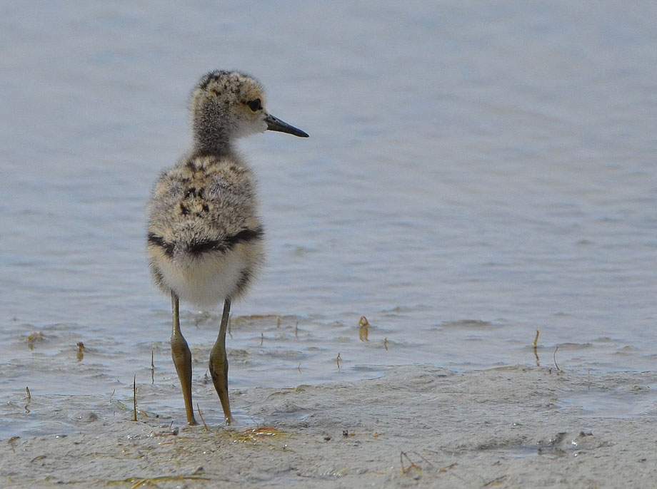 Black Winged Stilt (juvenile)