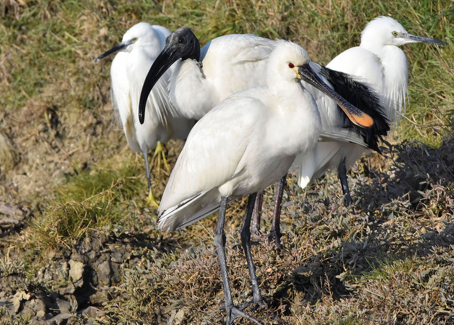 Little Egret, Sacred Ibis and Spoonbill