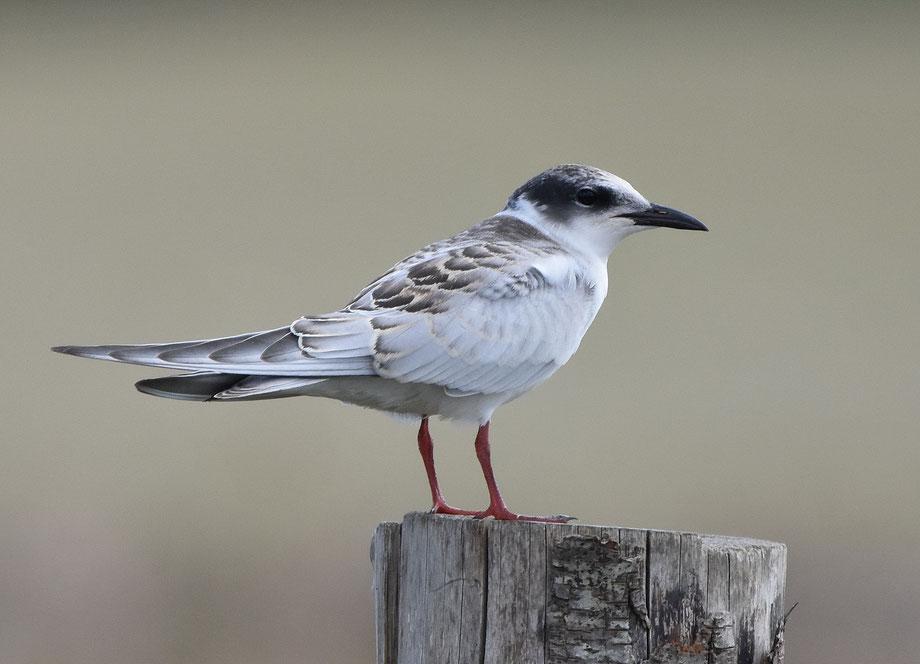 Whiskered Tern (juvenile)