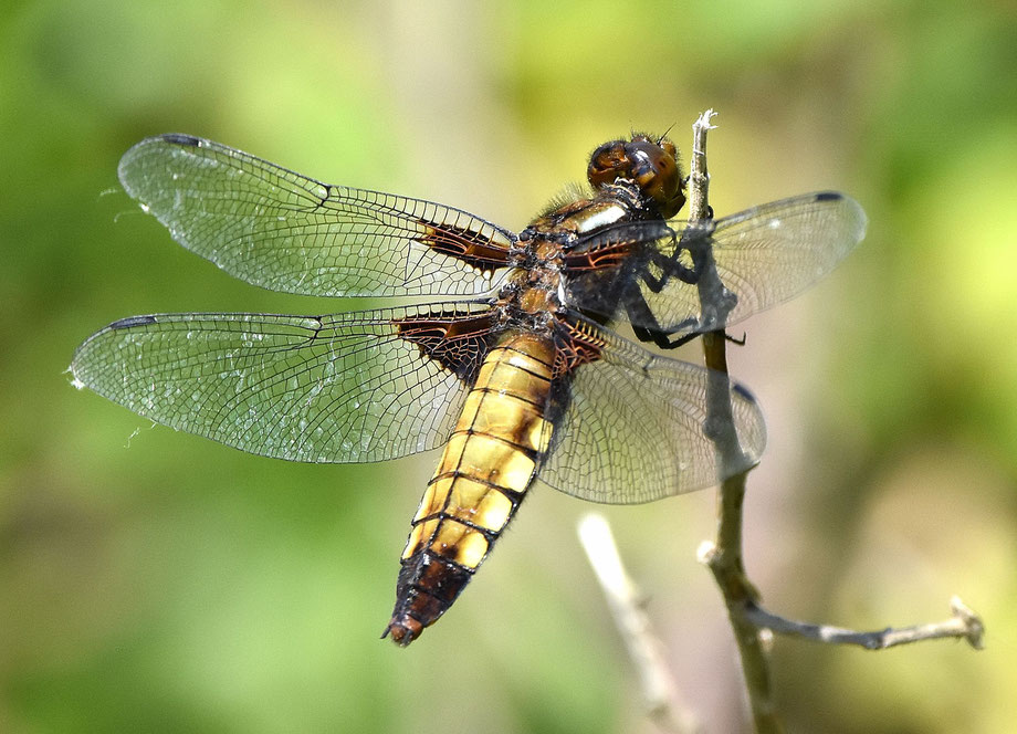 Broad-Bodied Chaser Dragonfly (female)