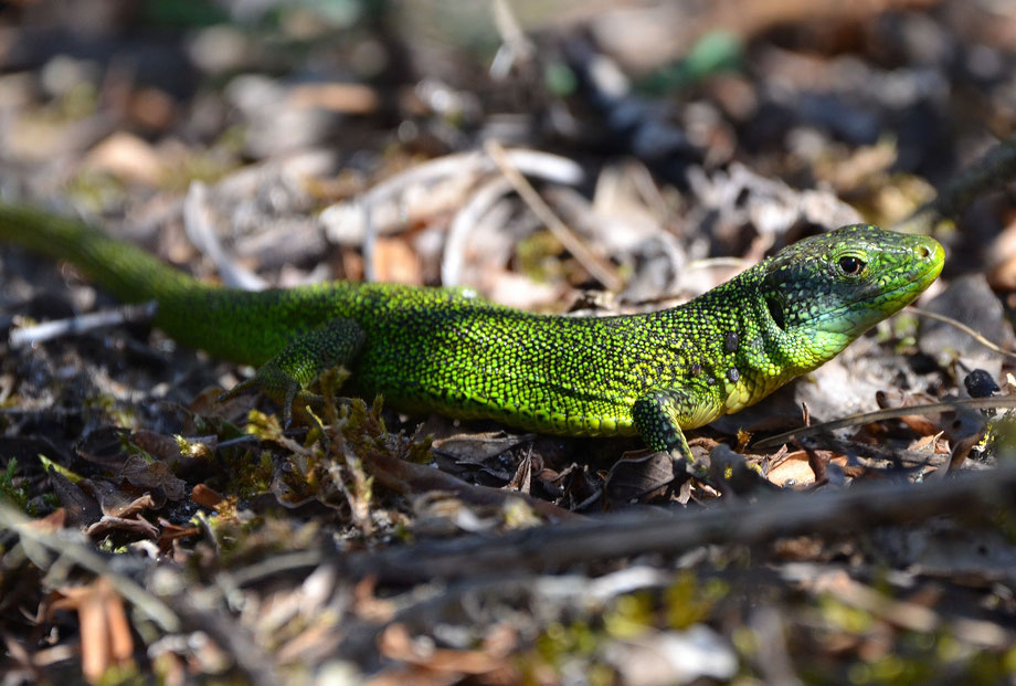 Weston Green Lizard