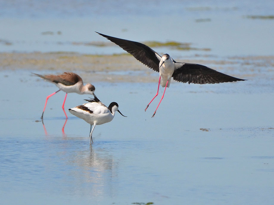 Black Winged Stilts and Avocet