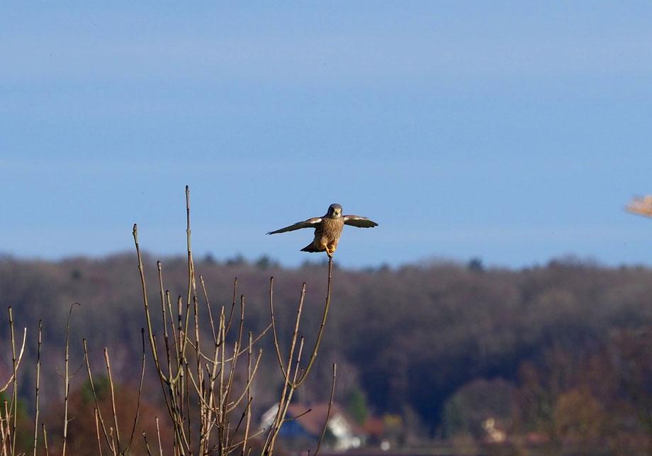 ...Wanderfalke im Thurgau