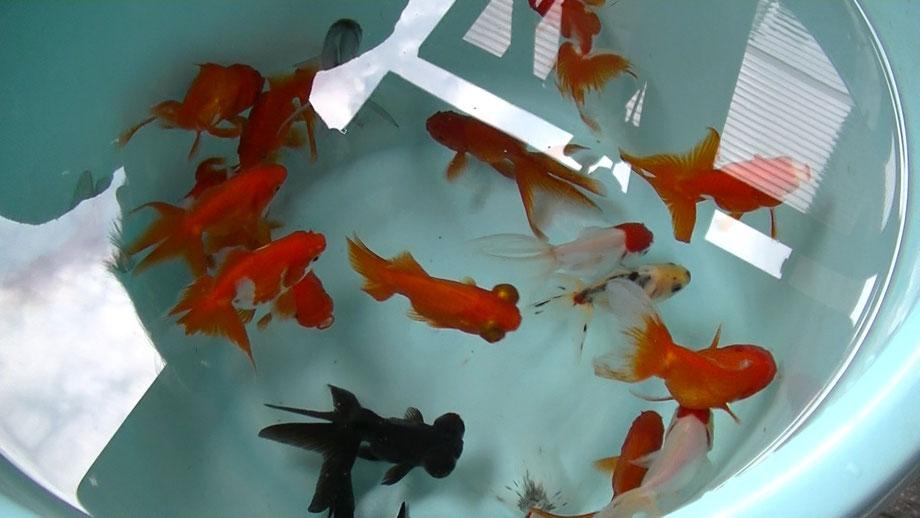 福岡県手乗りインコ小鳥販売店ペットミッキン 定番金魚、浜松らんちゅうが仲間入りしました。
