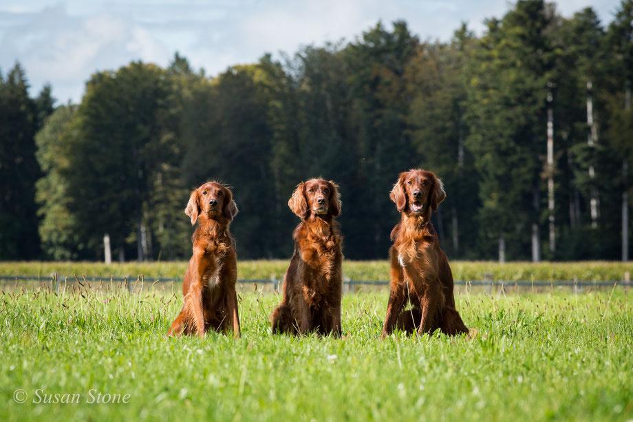 2019: Pinebay Coppersheen Columbus (Kettu), Corradeelish Sionnach (Annie), Coppersheen Erasmus (Rasmus) - die kleinere, aktive Arbeitslinie