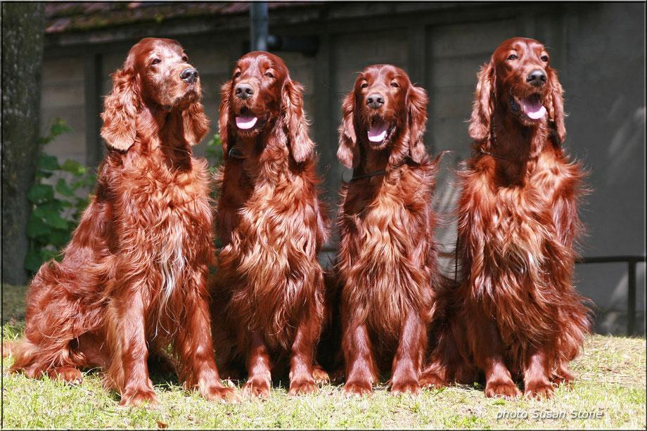 2011: Coppersheen Blaze, Daredevil (Dillan), Coalville Lad (Glen), Dark Gold Duke - die schönen Familienhunde