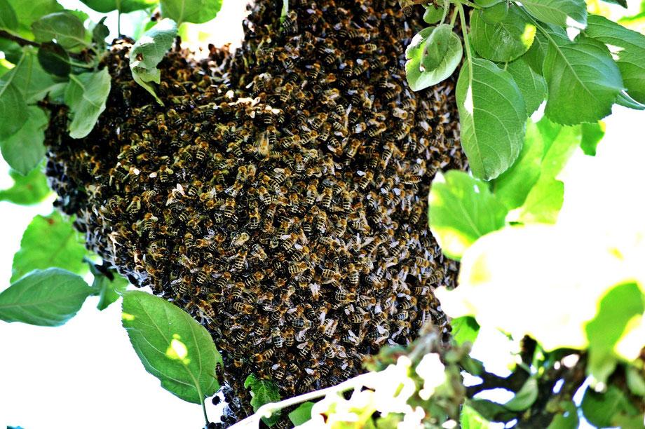 Bienen, Bienenschwarm, Schwarm, Imkerei, Imkerei Rieger, Otting, Rudelstetten, Honig, Honig kaufen