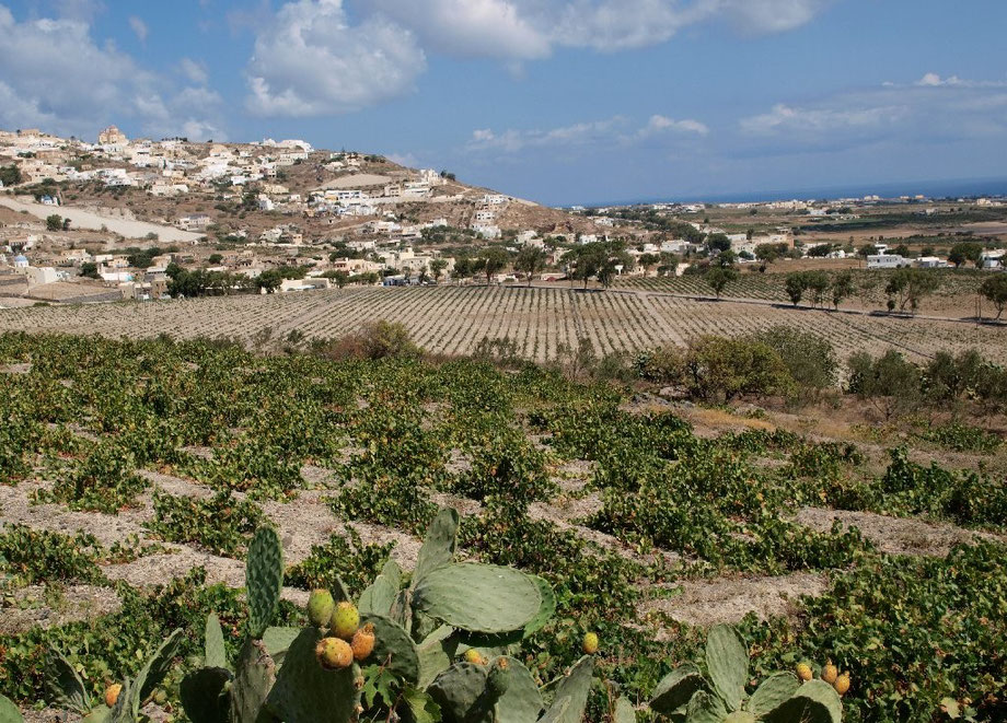 Santorini wineyards I