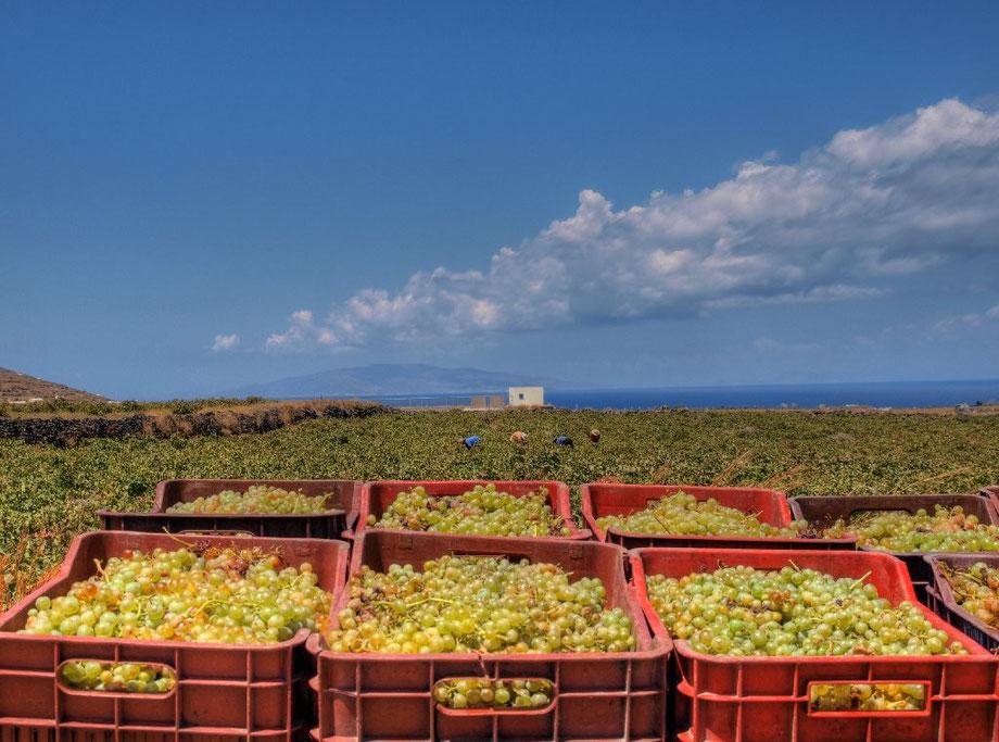 La raccolta dell'uva, Santorini, Grecia