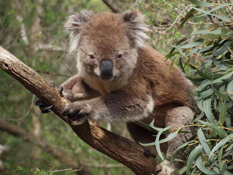 Koala Conservation Center, Phillip Island