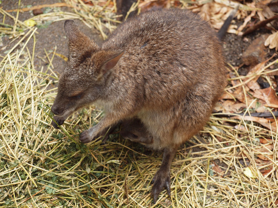 Parma Wallaby with the baby