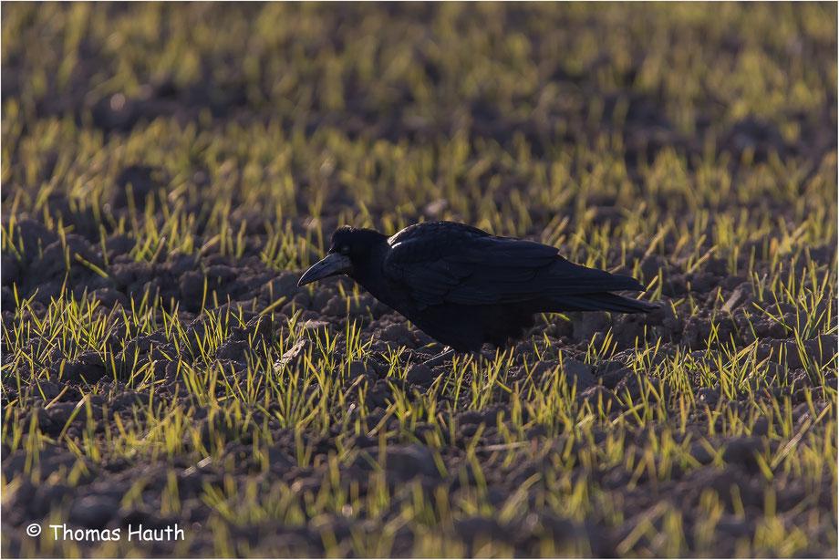 Der Kolkrabe (Corvus corax) ist ein Singvogel aus der Familie der Rabenvögel (Corvidae).