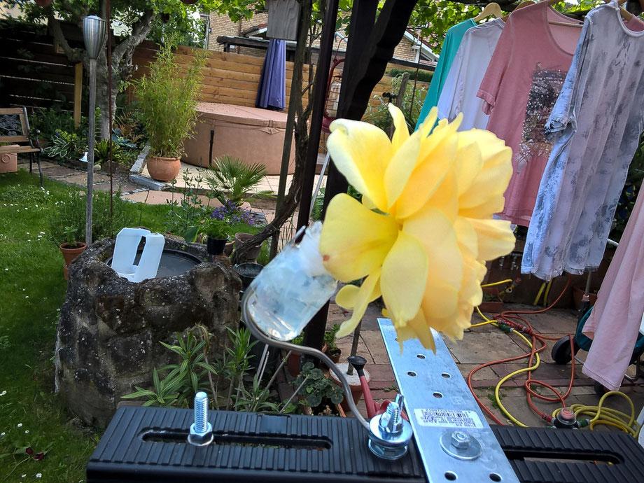 und hier die Rose im Wasserglas um ein zu schnelles Vertrocknen zu minimieren. Ausgestopft mit Verbandswatte, wackelt auch hier nichts.