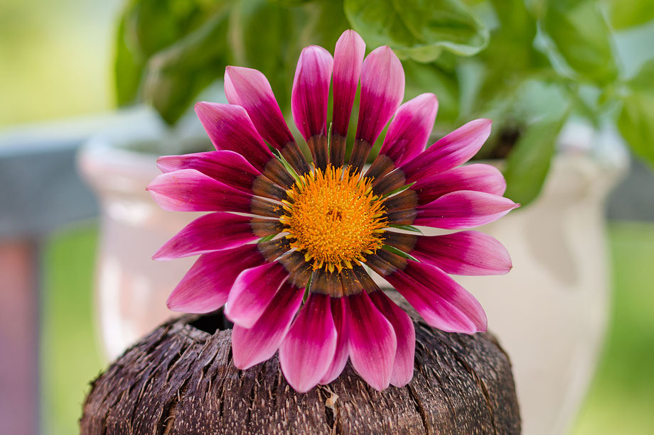 ballonblume-chinesische-glockenblume-lila