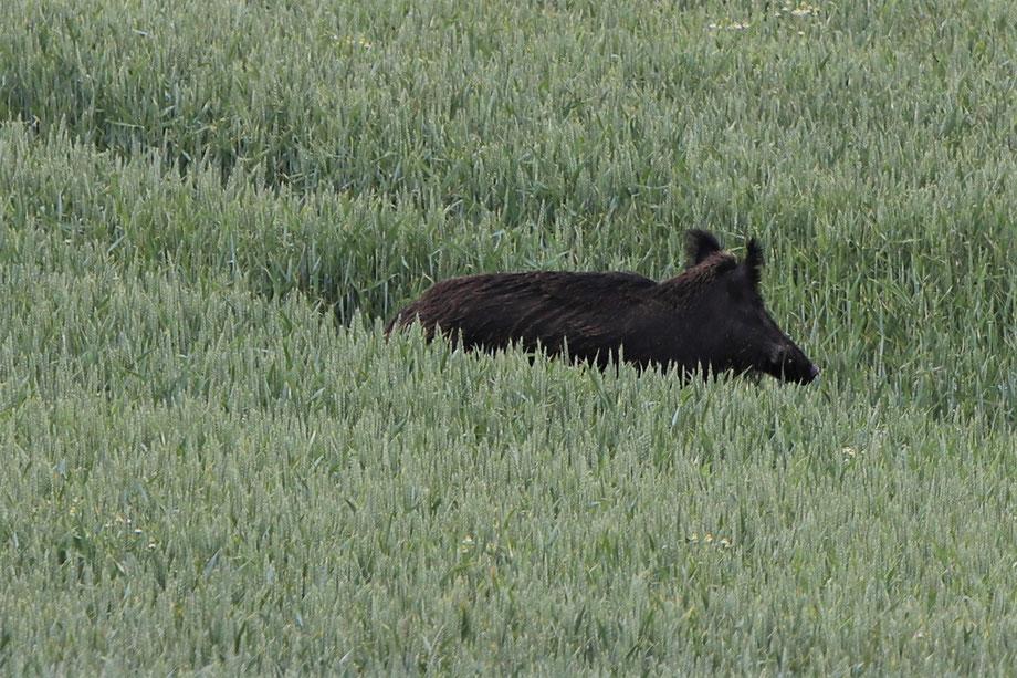 Wildschweinbache im Weizen