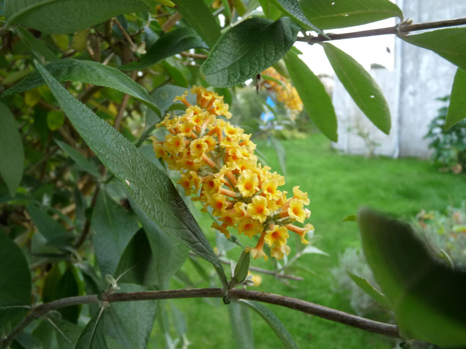 Buddleia Sun Gold