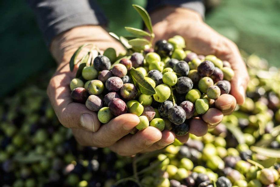 Pangaea Olivenöl aus Griechenland – Grüne und schwarze Oliven, gerade frisch geerntet