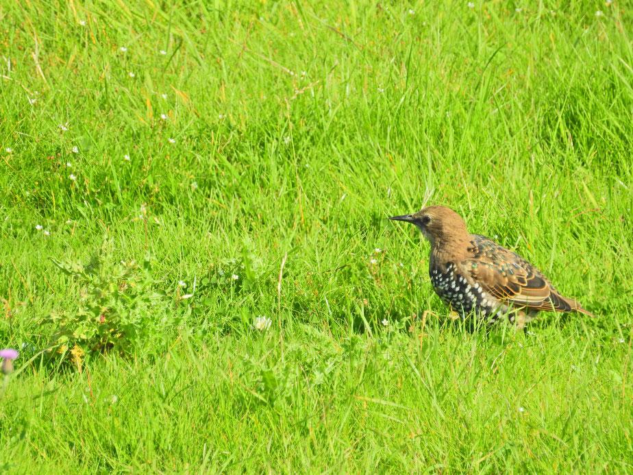 Star - Sturnus vulgaris - starling - Sabine Rümenap - wildes Ostfrieland