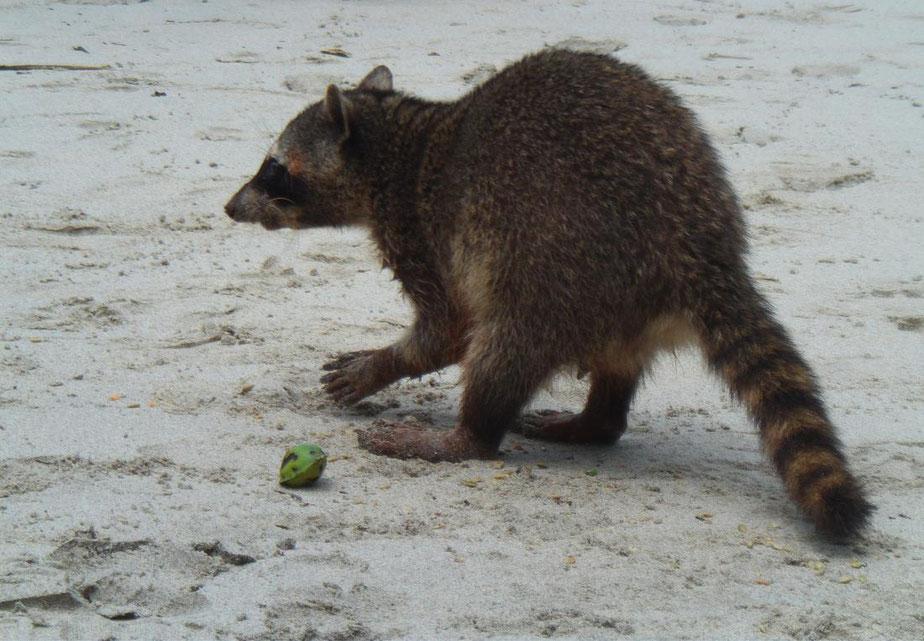 Raton laveur (mapache)