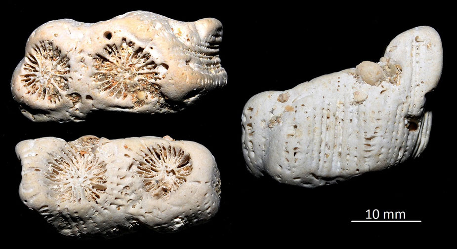 Diploastrea sp. Miocene dell'Aquitania