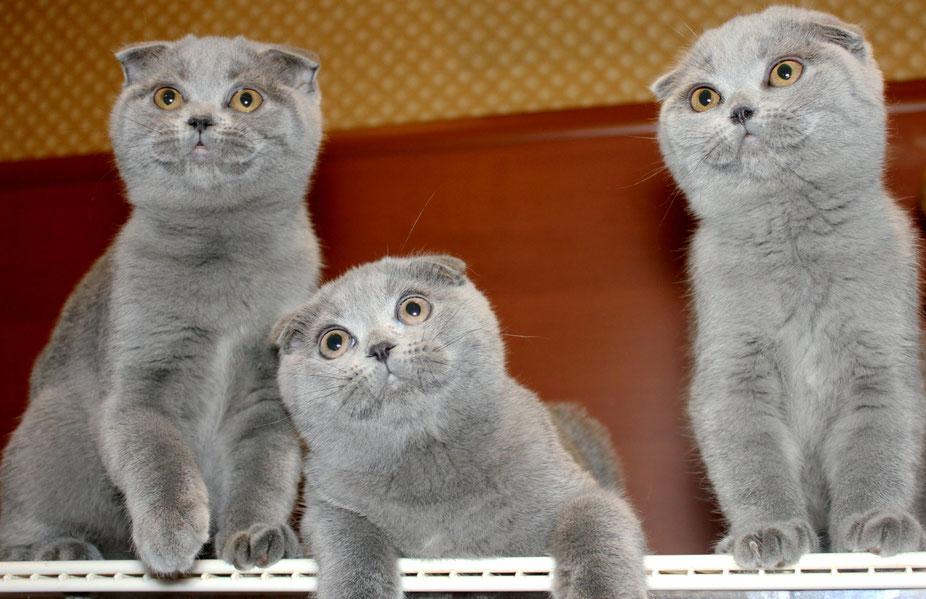 это отличие шотландских котят от британских фото честь любимого супруга