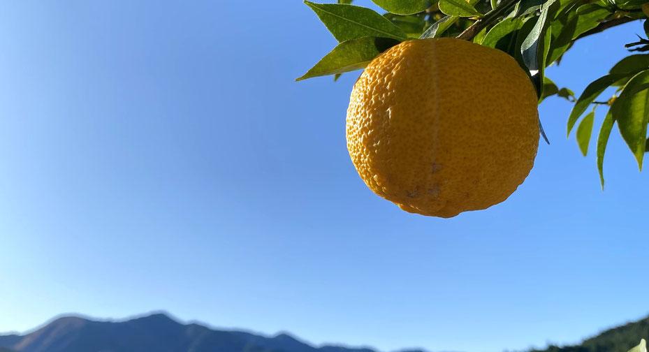 『【スペシャルセット】自然栽培 川根本柚子の青柚子 有機JAS 1kg & 川根本町産 無農薬 青唐辛子 100g』を販売いたします!