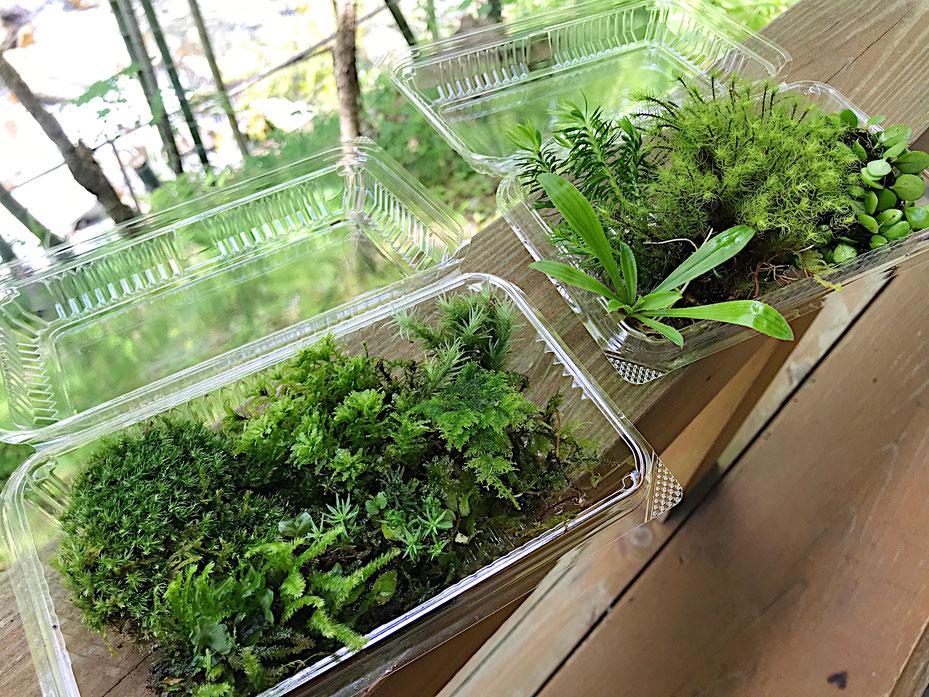 写真は一人分の苔やシダ類になります。※季節や天候によって苔やシダの内容は変わります。