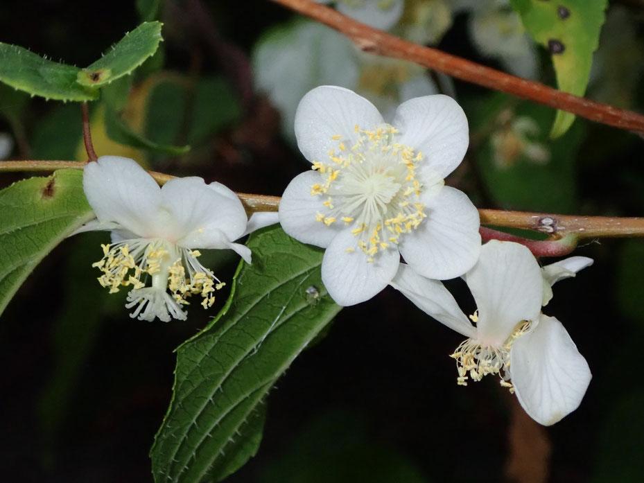 マタタビの花は香りがほのかに甘い。マタタビの実を漬けるマタタビ酒は有名ですが、マタタビの花を漬け込んだお酒も美味しいそうです。