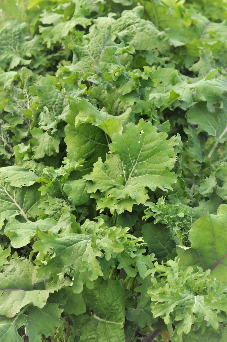 ケール 自然栽培 固定種 農業体験首都圏 体験農場首都圏 野菜作り教室首都圏  さとやま農学校 無農薬栽培