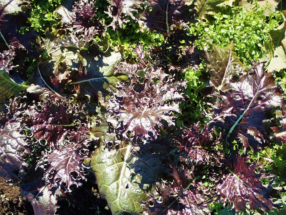 個体種のケールの自然栽培と種取りができる神奈川の体験農場「さとやま農学校」