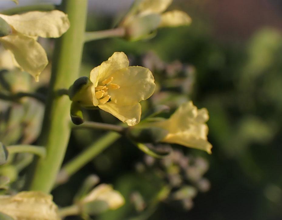 自然栽培ブロッコリー固定種の種取り@さとやま農学校・すどう農園