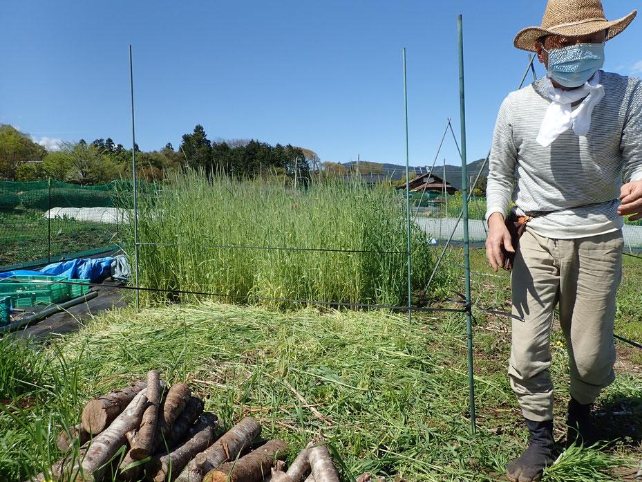 自然農で古代赤米の農業体験