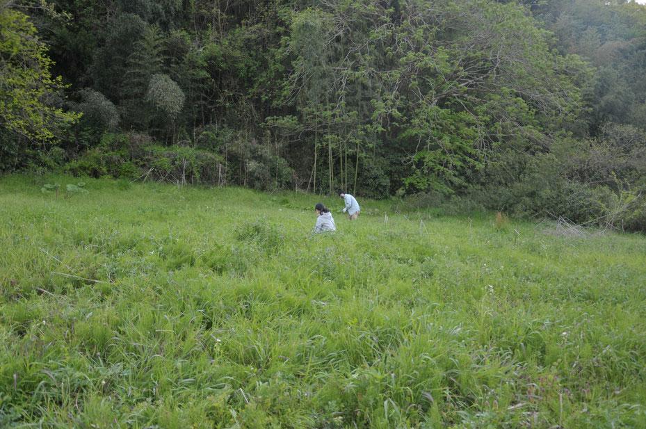 無農薬自然栽培のヨモギ