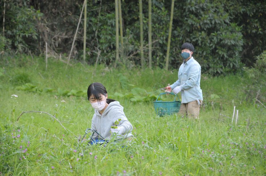 無農薬栽培フレッシュな生のヨモギ通販