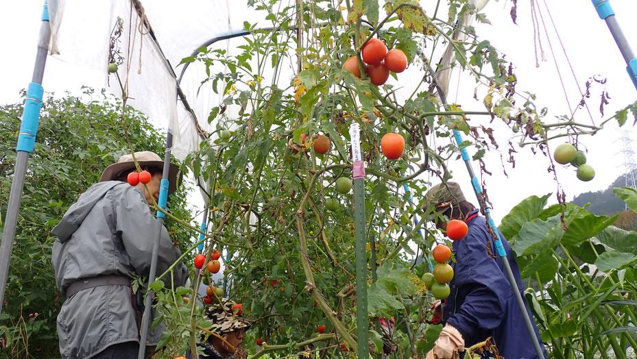 自然農でトマトを育てる@さとやま農学校・すどう農園