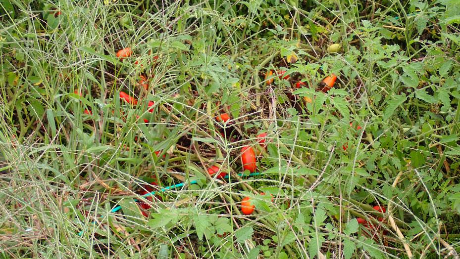 自然農のトマトの種取り@さとやま農学校・すどう農園