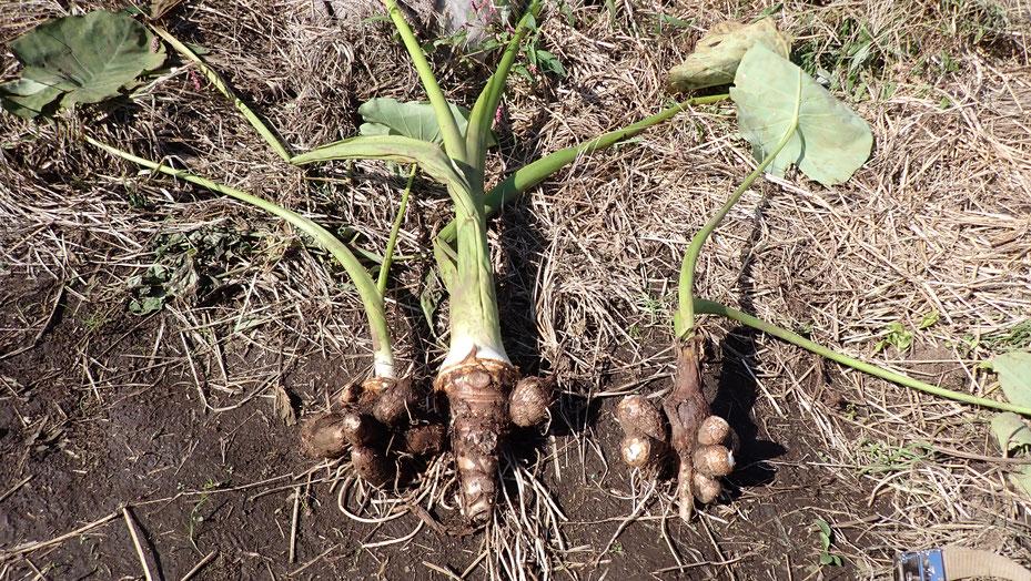 無農薬のサトイモ。自給のための野菜作り教室・さとやま農学校@すどう農園