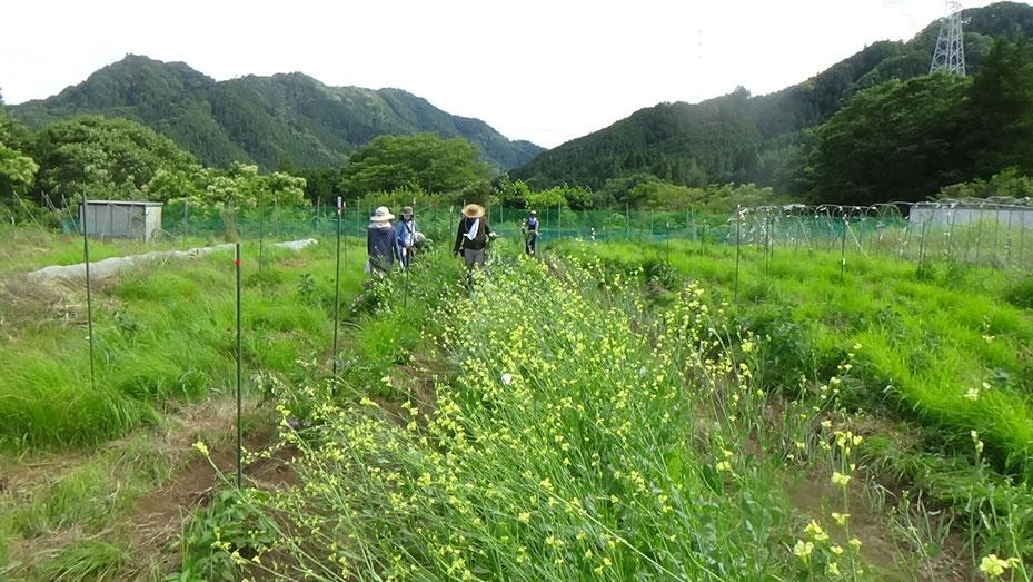 固定種のブロッコリと固定種のケール。農業体験で種取り。