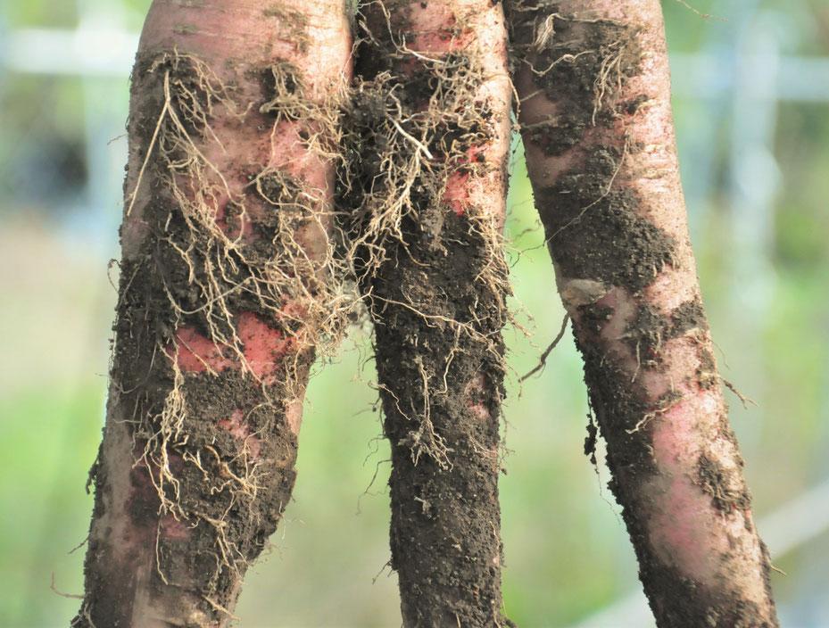ニンジンの根 自然栽培 固定種 農業体験首都圏 体験農場 野菜作り教室  さとやま農学校 無農薬栽培