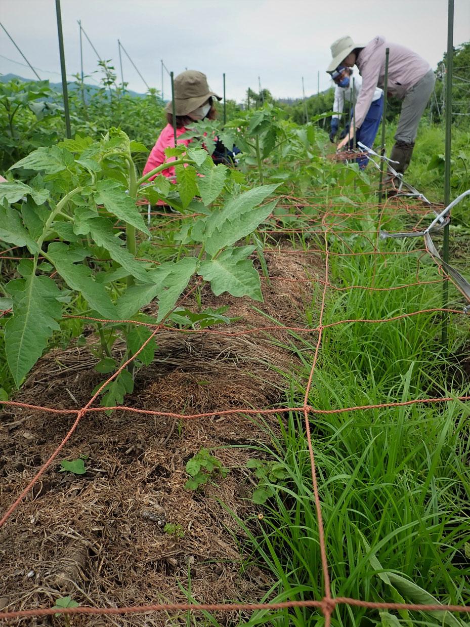 トマトのネット張り・無農薬栽培@さとやま農学校・すどう農園