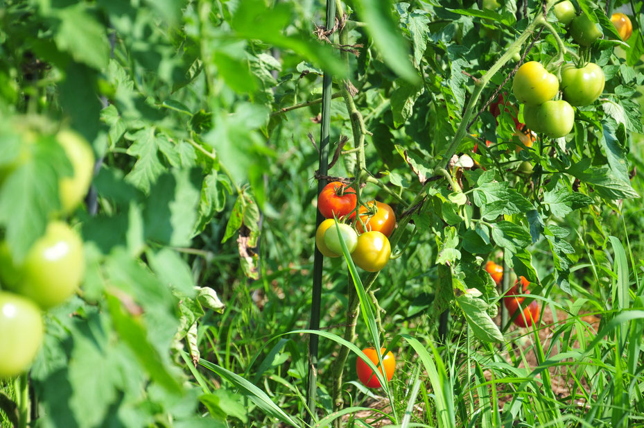 自然農のトマトづくりを学ぶ@さとやま農学校・すどう農園