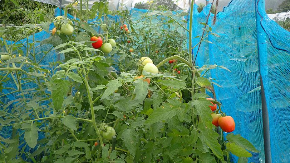 自然農法・無肥料栽培のトマト作りを学ぶ@さとやま農学校・すどう農園