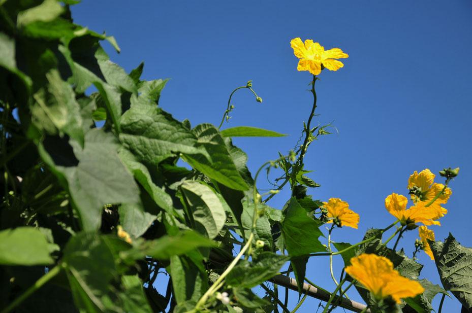 自然農法のヘチマの花@さとやま農学校・すどう農園