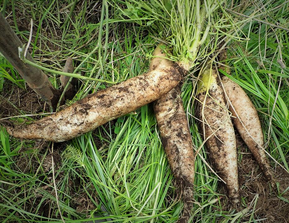 固定種ダイコンの自然栽培・無農薬栽培