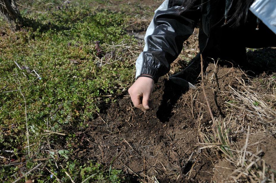 クリムゾンクローバーは、緑肥にもなり、ミツバチの蜜源にもなり、眺めて楽しい素晴らしい仲間です。