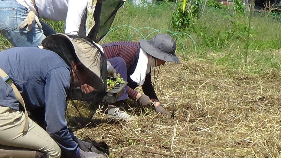 不耕起栽培・無農薬のレタスの定植@自給の野菜作り教室「さとやま農学校」すどう農園
