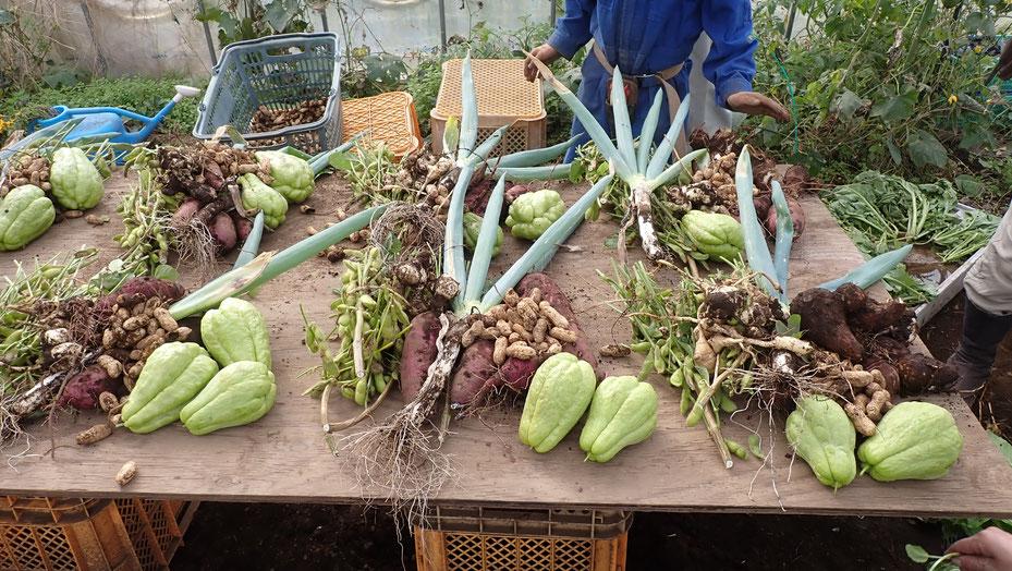 無農薬のサトイモほか。自給のための野菜作り教室・さとやま農学校@すどう農園